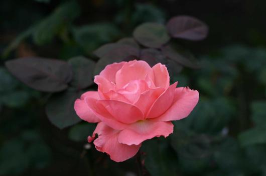 pinkrose.jpeg.jpg